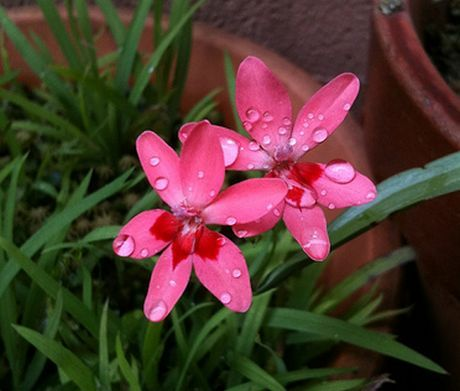 Freesia laxa