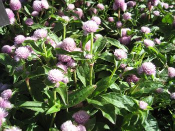 Globe Amaranth picture
