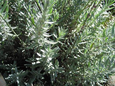 Gray Lady lavender