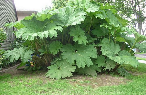 Gunnera plant how to grow prickly rhubarb for Plants to grow in garden