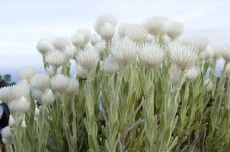 Helichrysum vestitum
