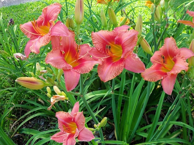 Perennial Daylily