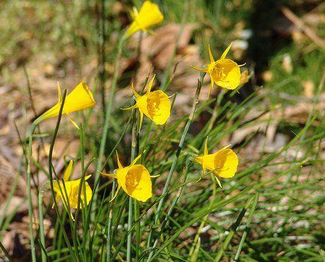 Hoop Petticoat Daffodil