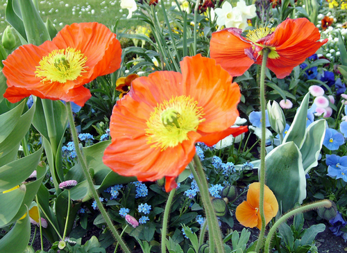 Iceland Poppies class=