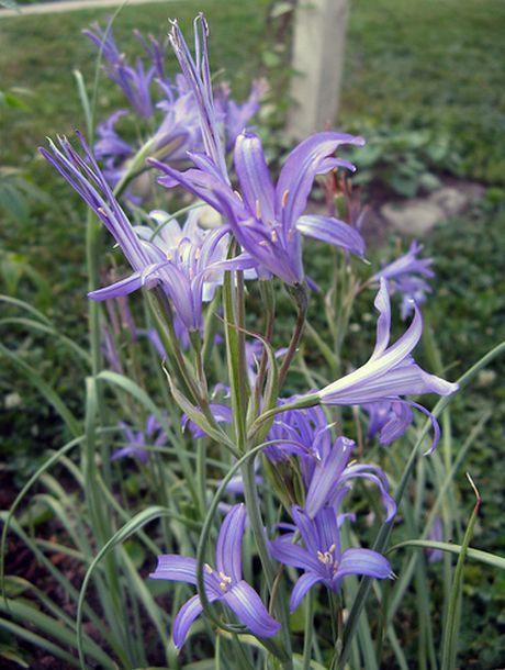 Tartar Lilies