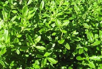 Jamaican mint bush