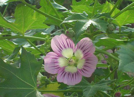 Lavatera assurgentiflora