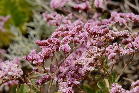 Limonium Plant Growing Guide Statice Sea Lavender Sea Pink