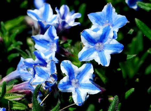 Lithodora white star