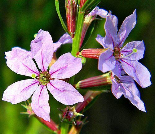 Lythrum alatum