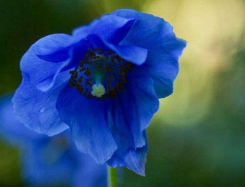 Meconopsis plant how to grow blue poppy welsh poppy meconopsis grandis mightylinksfo