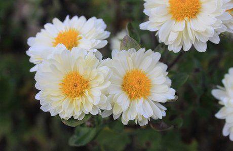 Perennial Chrysanthemum