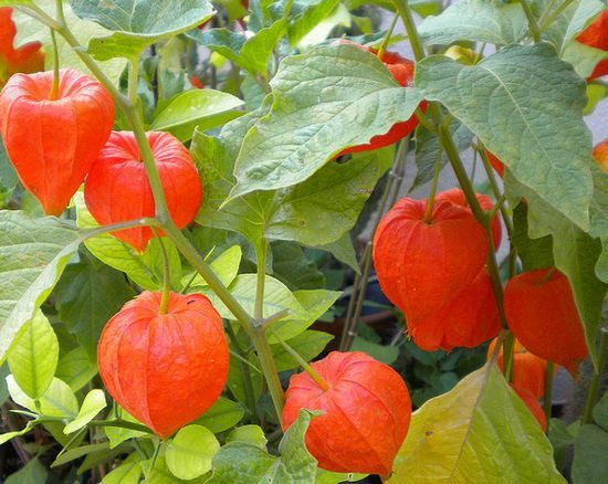 how to support cape gooseberry plants