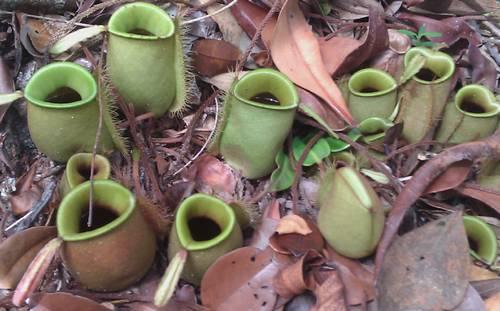 Kết quả hình ảnh cho growing Pitcher Plant