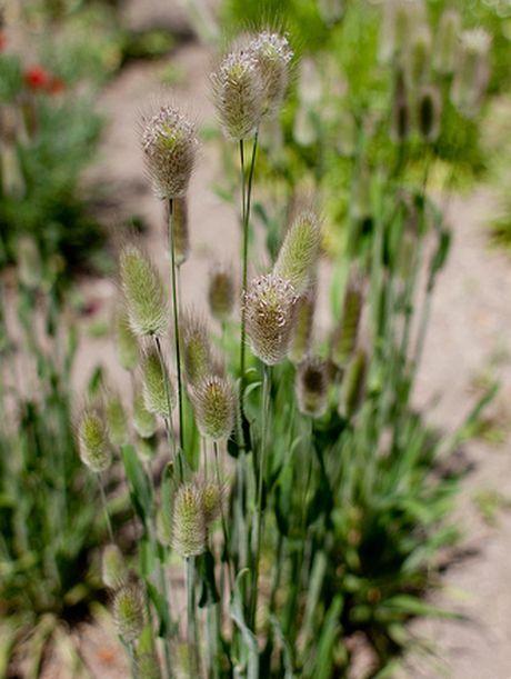 Rabbit Tail Grass