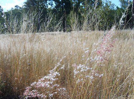 Red Natal Grass