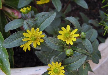 Sanvitalia plant