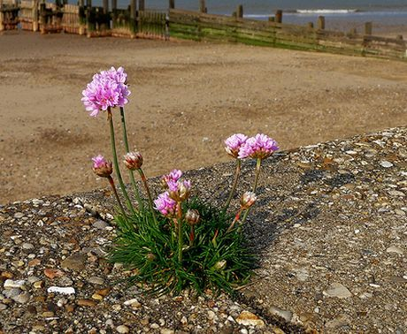 Plant of the week: sea pink | Life and style | The Guardian