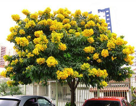 Cassia Plant | How to Grow Wild Senna, Shower Trees
