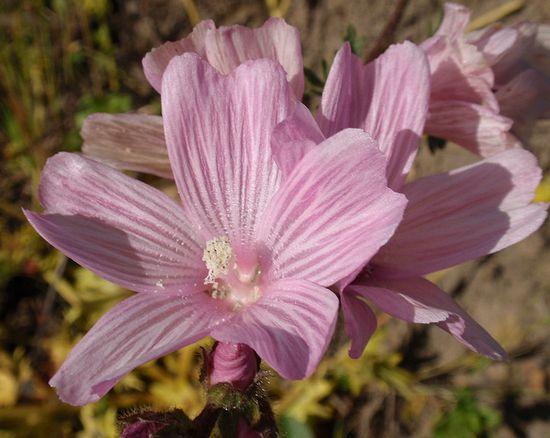 Sidalcea malfiflora