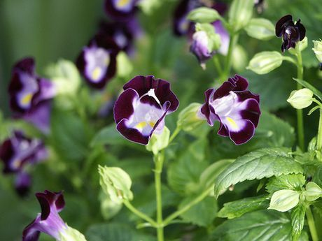 Wishbone flower