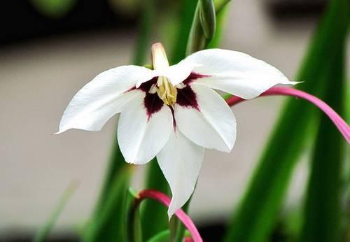 Acidanthera bicolor
