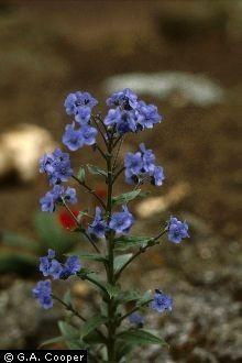 Bugloss photo
