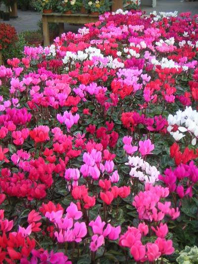 Cyclamen picture by Dean Ravenscroft