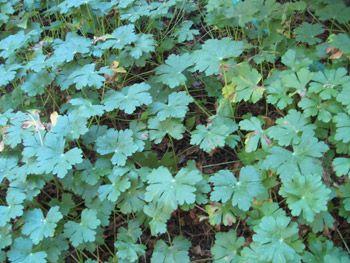 Geranium leaves picture
