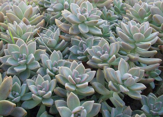 Ghost Plant Sedum