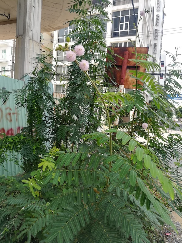 Mimosa plant growing wildly in Thailand