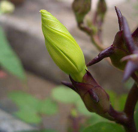Moonflower bud