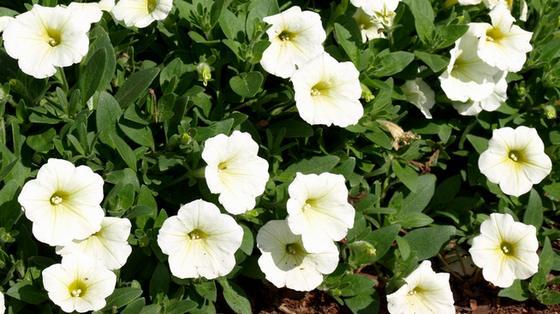Petunia milliflora