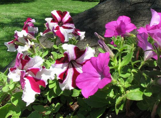 Image result for Petunia hybrida