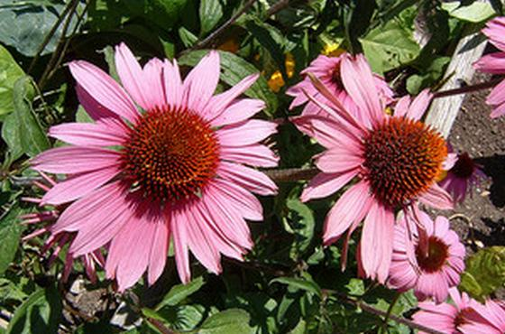 Picture of Eastern Purple Coneflowers