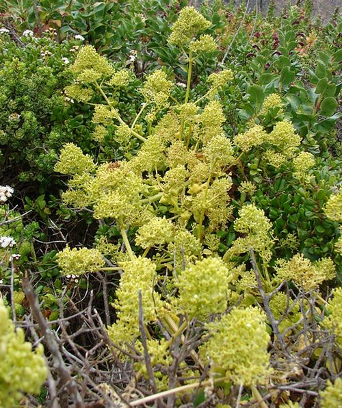 Valeriana obtusifolia