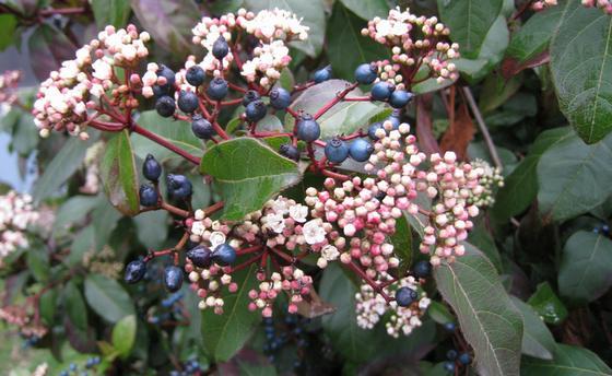 Laurustinus fruit
