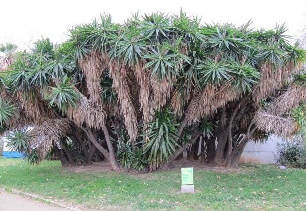 The massive Yucca elephantipes species