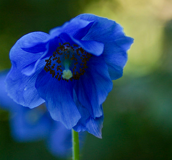 Meconopsis grandis blue poppy plant growing guides meconopsis blue poppy mightylinksfo