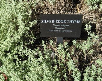 Silver Edge Thyme