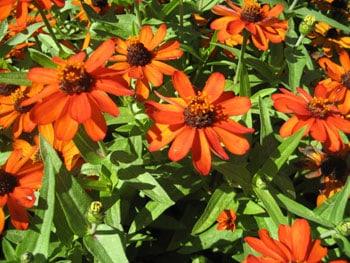 zinnia profusion flower