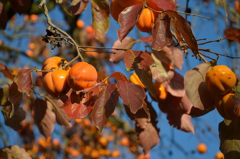 Diospyros kaki Branch laden with Persimmon Fruit