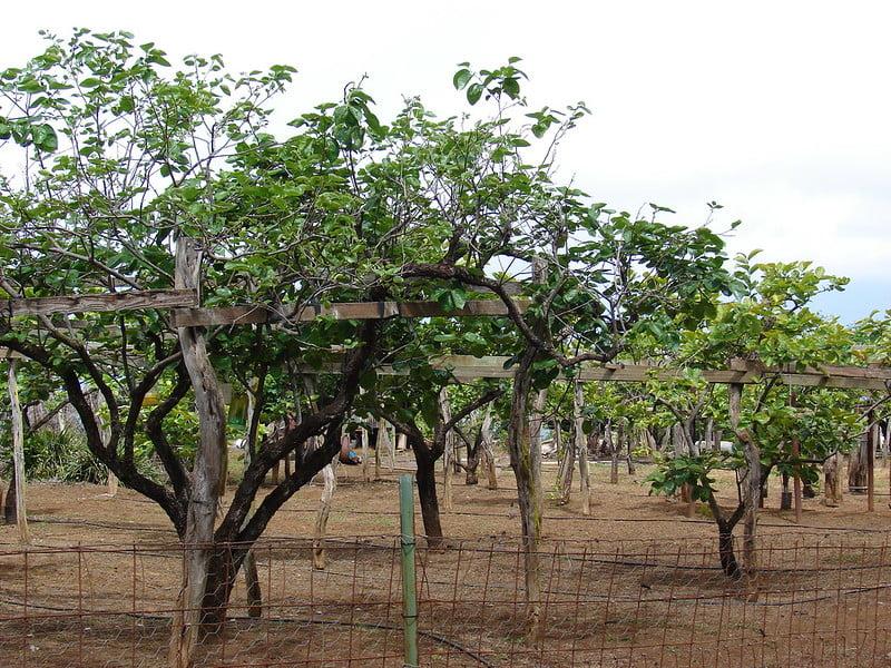 Diospyros kaki Trees
