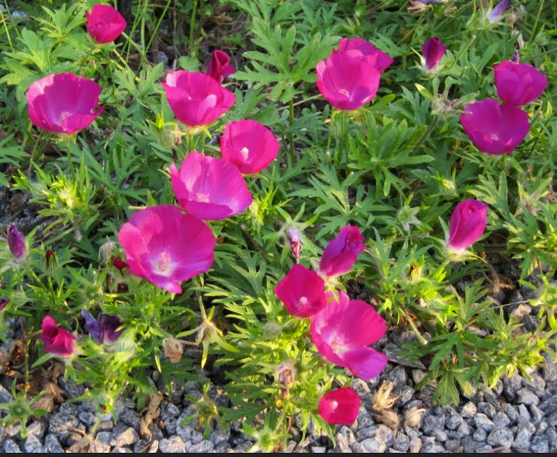 Attractive Callirhoe involucrata Wine Cups make great ground coverage plants in dry areas.