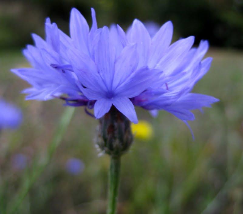 Close up of Centaurea Cyanus flower.