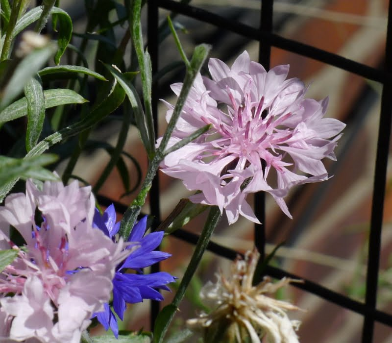 Cornflowers are available in many varieties, with multiple colors including pale pink.