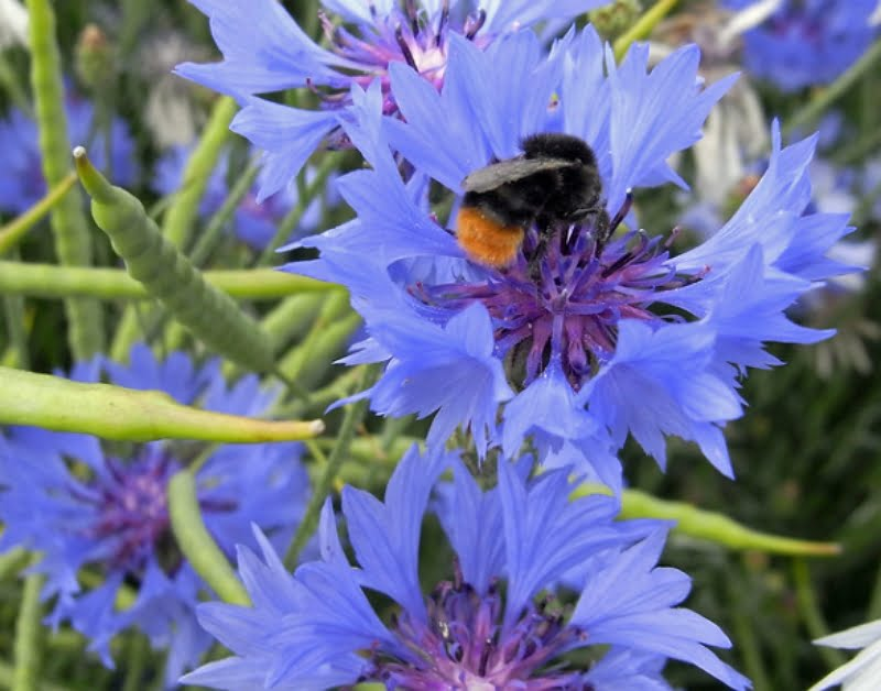 Cornflowers are a great plant to grow to attract birds and bees to your garden.