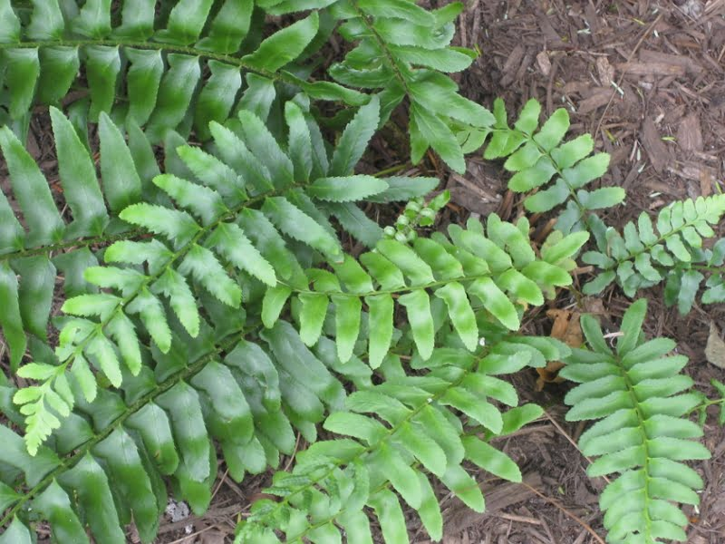 Photograph of Polystichum acrostichoides growing wildly.