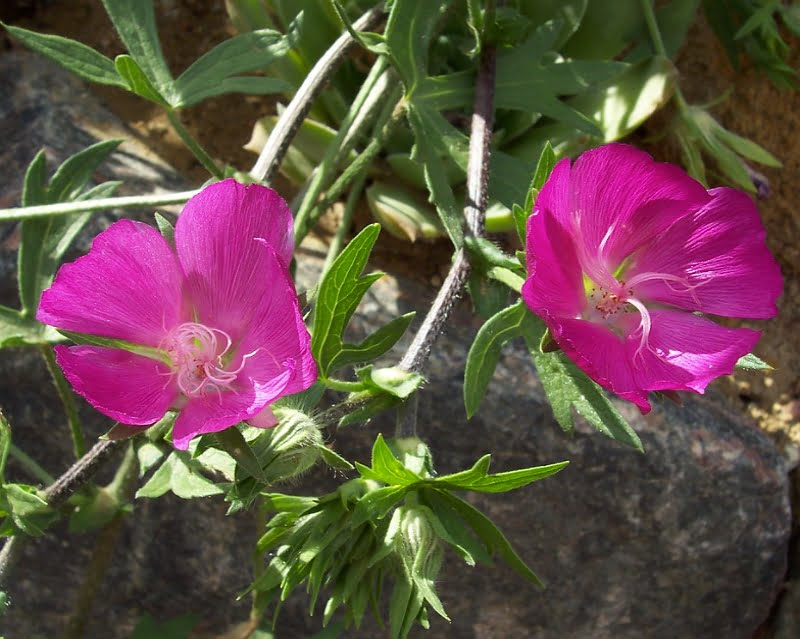 Close up of Purple Poppy Mallow flowers.