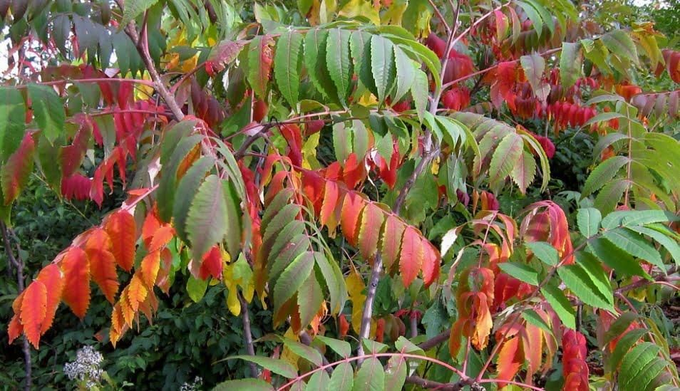 Rhus glabra leaves turning red.